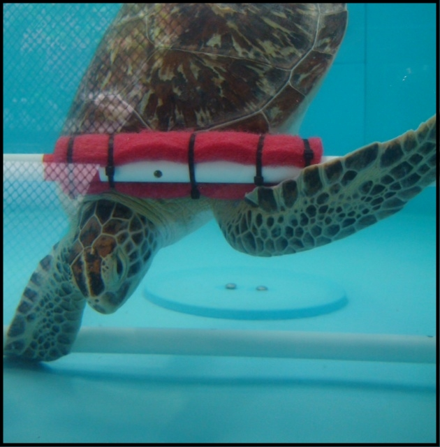 green sea turtle in tank