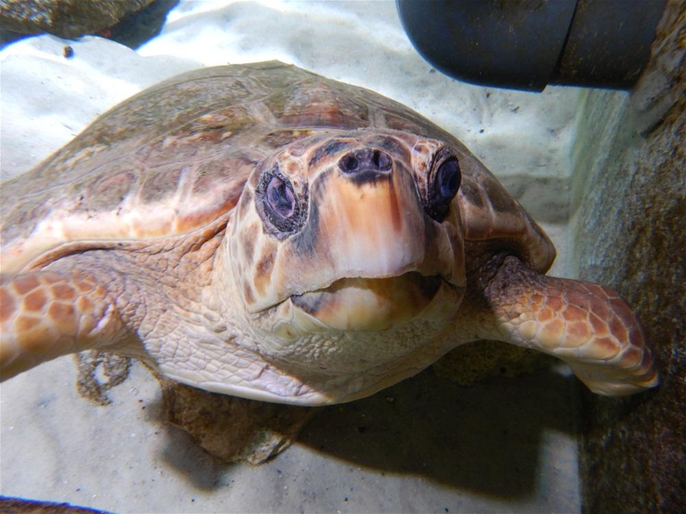 Adopt A Sea Turtle   Gumbo Limbo Nature Center
