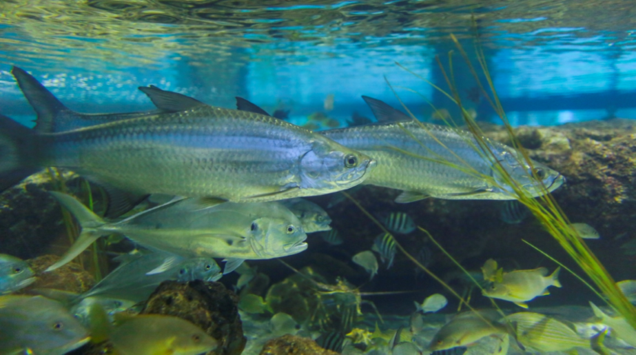 2 large, narrow silver fish with large scales, and several smaller fish, in an aquarium.