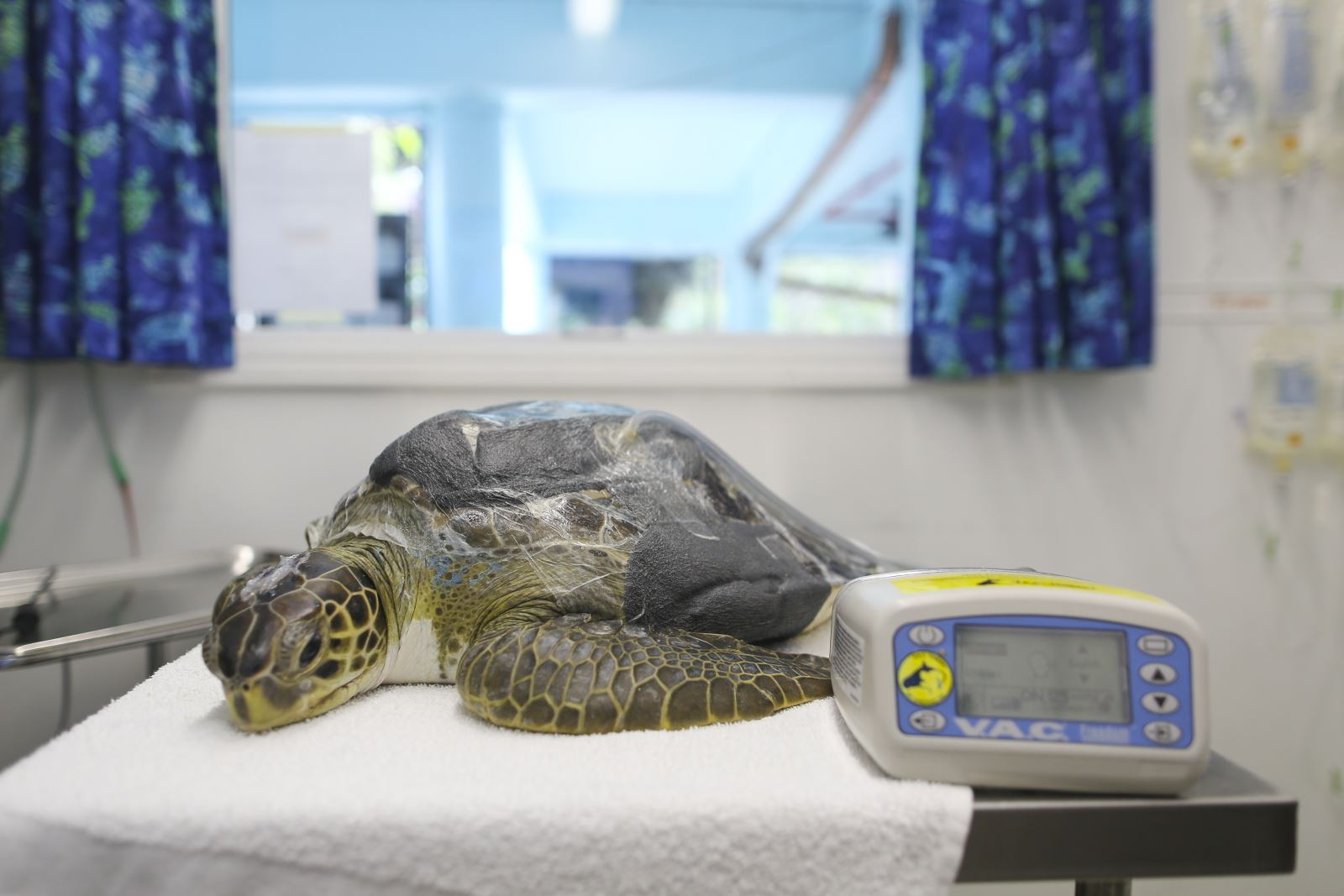 Sea Turtle in Rehabilitation Hospital