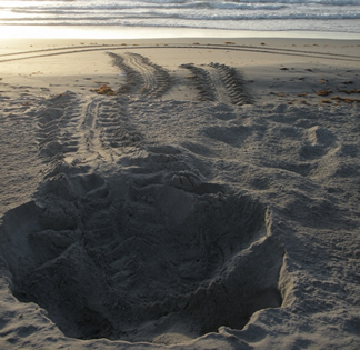 sea turtle nest on beach