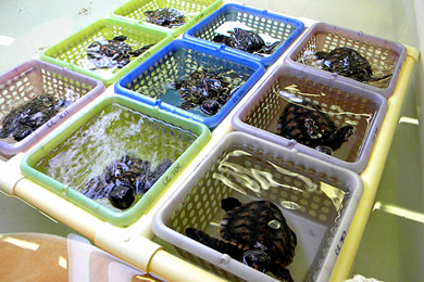 hatchling sea turtles being raised for gender study.