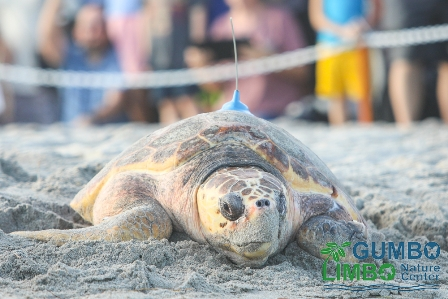 Sea Turtle on beach with transmitter attached ot top of shell.   People in background watching. Gumbo Limbo Nature Center.