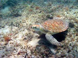sea turtle on reef