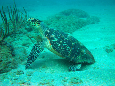 hawksbill turtle on sand in ocean