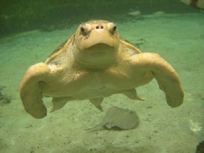 kemp's ridley sea turtle in water