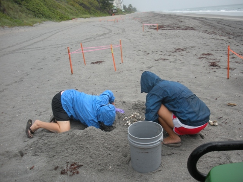 marine turtle specialists work on a turtle nest on the beach in the rain