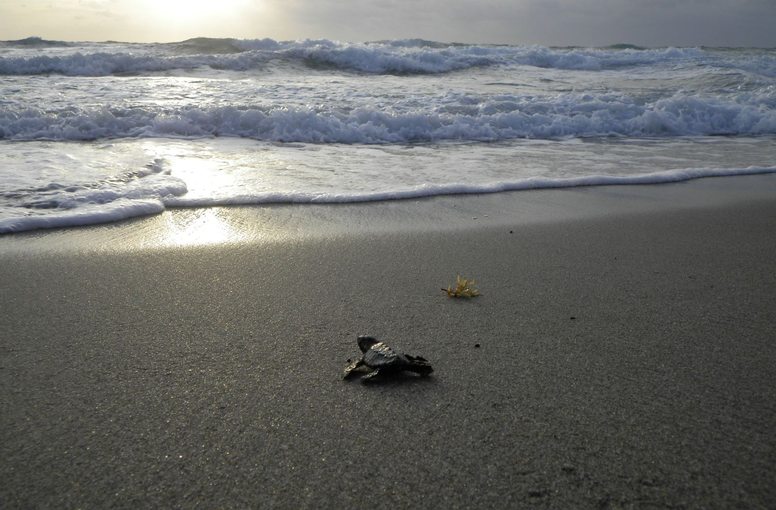 Loggerhead hatchling headed for the ocean