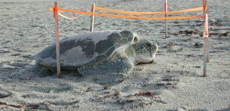 adult green sea turtle on beach