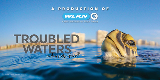 a production of WLRN public television for south florida.  Troubled waters a turtle's tale.  Photo credit Ben Hicks.