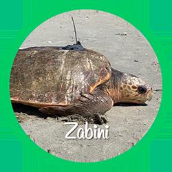 Open Zabini's sea turtle patient profile.