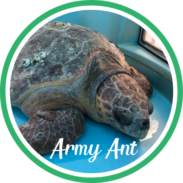Open Army Ant's sea turtle patient profile.