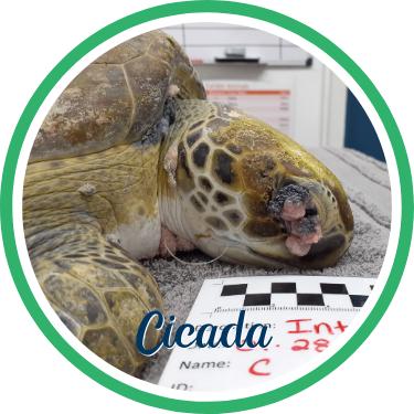 Open Cicada's sea turtle patient profile.