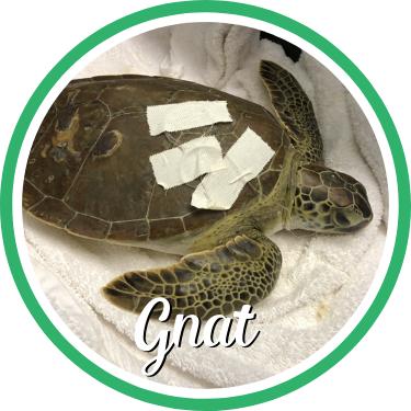 Open Gnat's sea turtle patient profile.