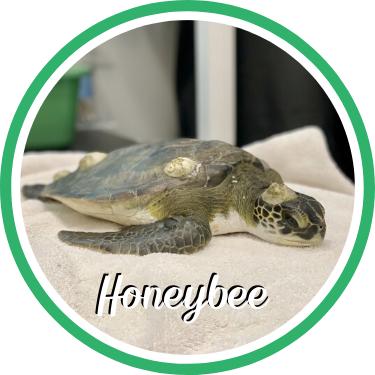 Open Honeybee's sea turtle patient profile.