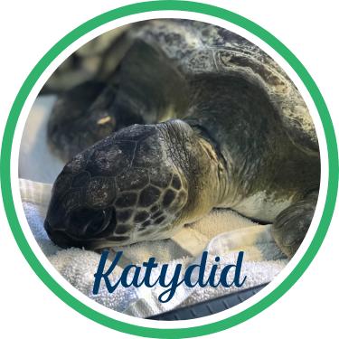 Open Katydid's sea turtle patient profile.