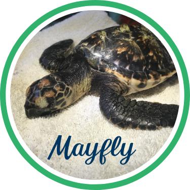 Open Mayfly's sea turtle patient profile.