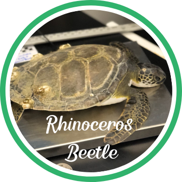 Open Rhinoceros Beetle's sea turtle patient profile.
