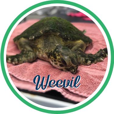 Open Weevil's sea turtle patient profile.