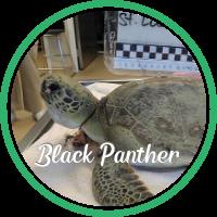 Open Black Panther's sea turtle patient profile.