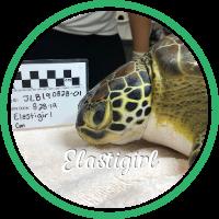 Open Elastigirl's sea turtle patient page.