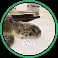 Open Flare's sea turtle patient profile.