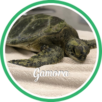 Open Gamora's sea turtle patient profile.