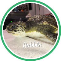 A green sea turtle laying on a treatment table.