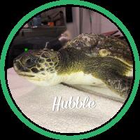 Open Hubble's sea turtle patient profile.