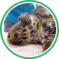 Open Iron Man's sea turtle patient page