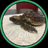 Open Loki's sea turtle patient page.