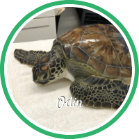 Open Odin's sea turtle patient profile.