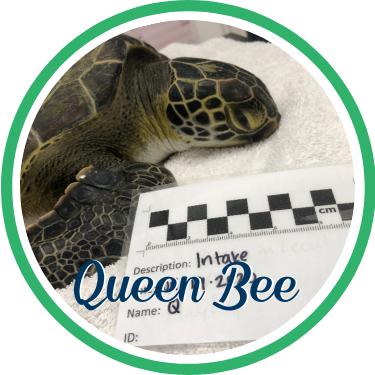 Open Queen Bee's sea turtle patient profile.