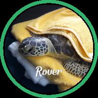 green sea turtle laying on a yellow towel.