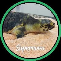 Open Supernova's sea turtle patient profile.