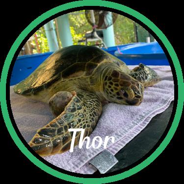 Open Thor's sea turtle patient profile.