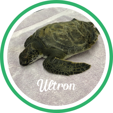 Open Ultron's sea turtle patient profile.