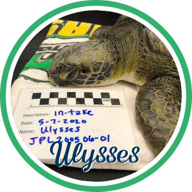 Open Ulysses' sea turtle patient profile.