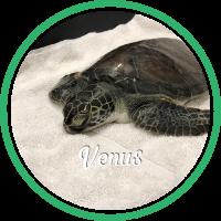 Open Venus's sea turtle patient profile.