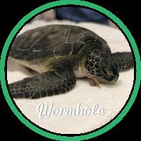Open Wormhole's sea turtle patient profile.