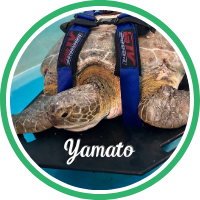 Open Yamato's sea turtle patient page.