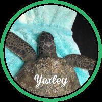 Open Yaxley's sea turtle patient profile.