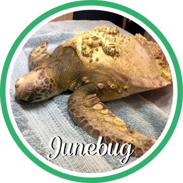 Open Junebug's sea turtle patient profile.