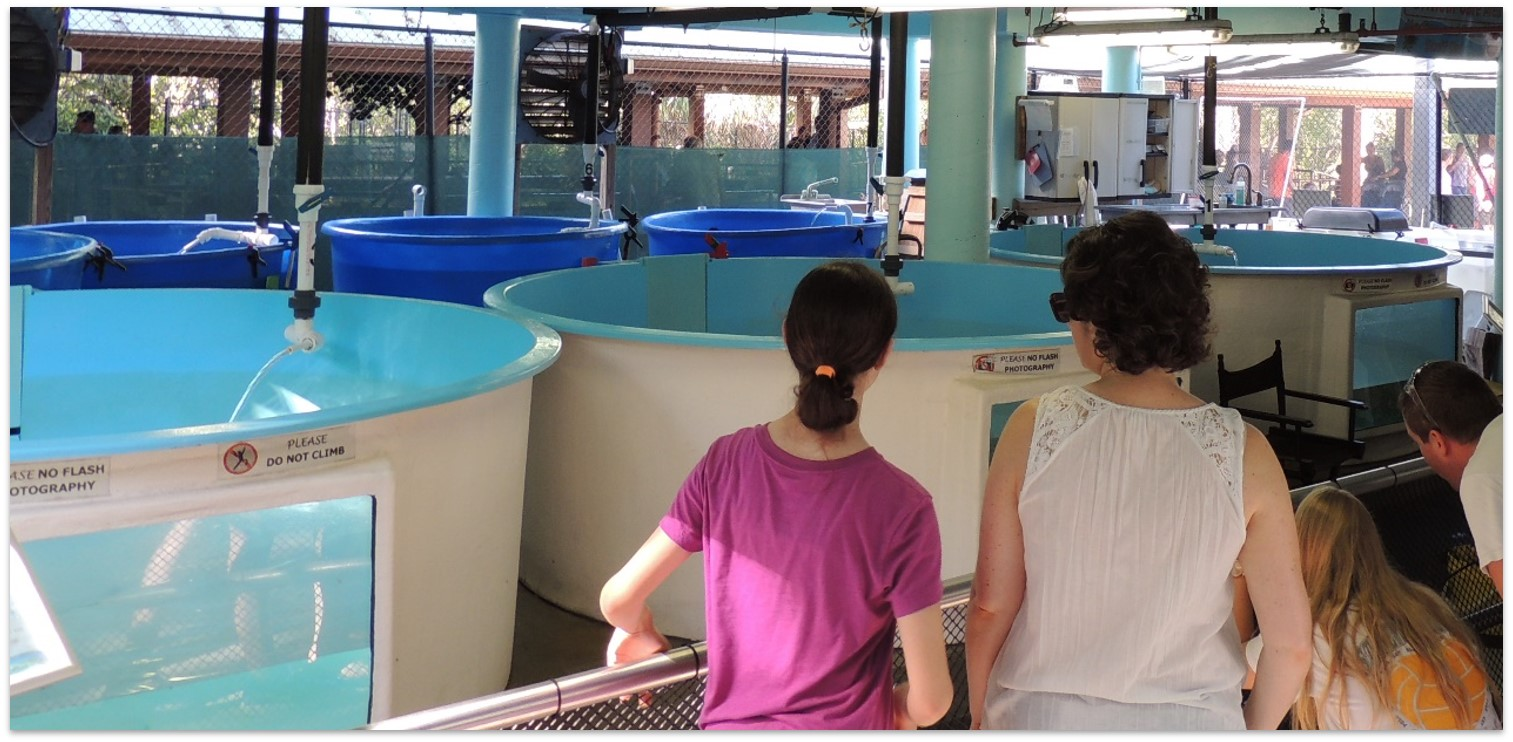 Visitors viewing sea turtle rehabilitation tanks.