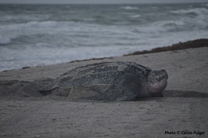 leatherback sea turtle on beach