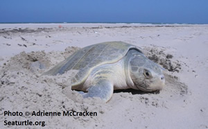 kemp's ridley sea turtle on beach