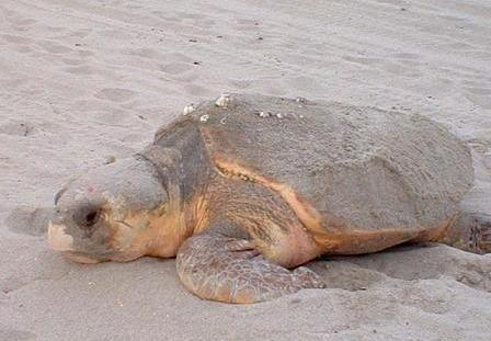 adult loggerhead sea turtle on beach