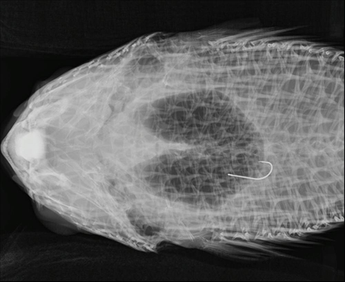 x-ray showing hook in the body of a fish