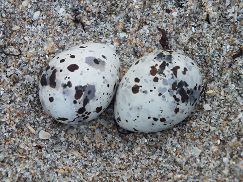 close up of two speckled eggs in a nest in the sand